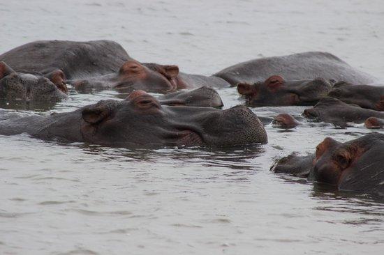 Shoreline Hippo and Croc Cruises: pod of hippos