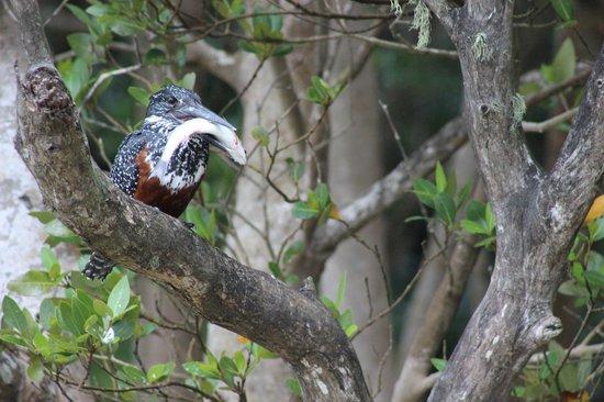 Shoreline Hippo and Croc Cruises : Kingfisher with fish