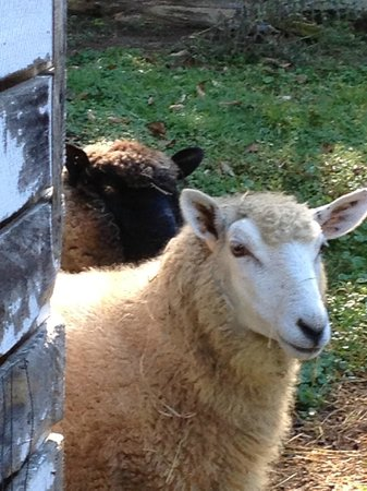 Golden Stage Inn Bed and Breakfast : sheep
