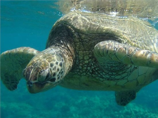 Royal Lahaina Resort: Snorkeling with a Sea Turtle