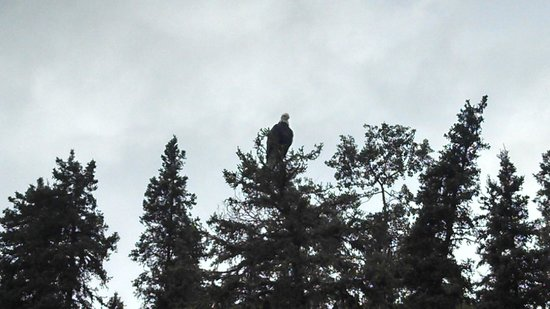 Great Alaska Adventures: An Eagle with her catch
