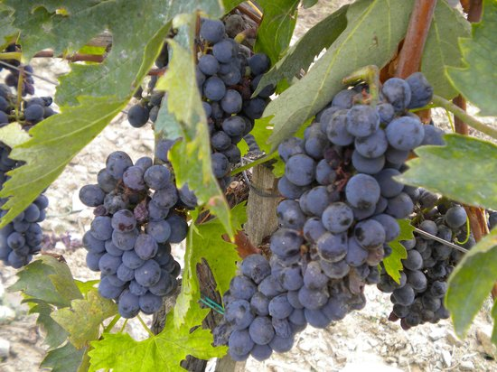 Tours By Roberto: Soon to be wine!