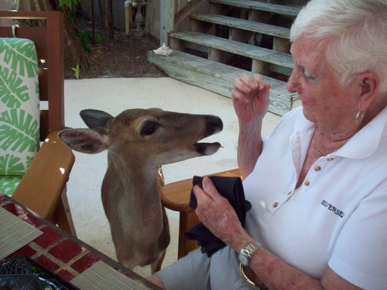 Little Palm Island Resort & Spa, A Noble House Resort : Feeding the Key Deer fresh fruit by the dining room.