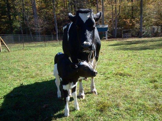 Enota Mountain Retreat : Baby calf born Oct. 16, 2013