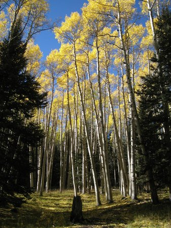 San Francisco Peaks: Golden aspens along the Inner Basin Trail