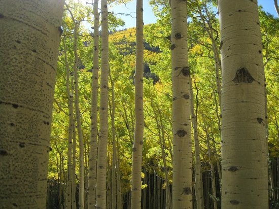 San Francisco Peaks: Aspens along the Inner Basin Trail.