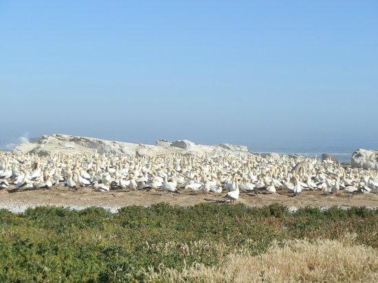 Lamberts Bay Hotel : gannets of Bird Island
