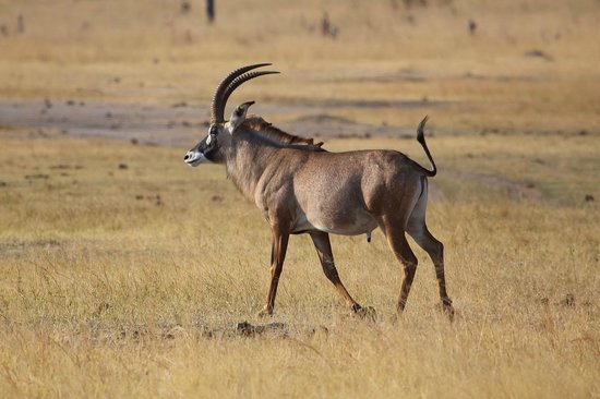 Roan Antelope Picture Of Wilderness Safaris Davison S Camp