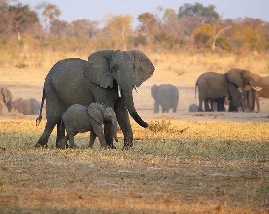 Wilderness Safaris Davison's Camp: Elephants at Camp Waterhole