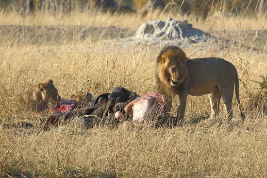 Wilderness Safaris Davison's Camp: Lions on Elephant Kill