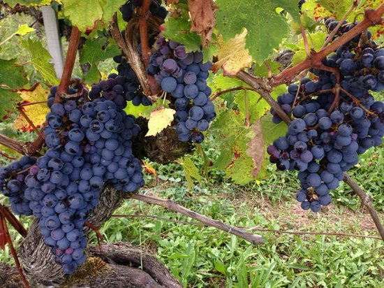 Chateau Smith Haut Lafitte: 2013 grapes