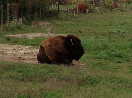 Oxbow Park and Zollman Zoo: Bison