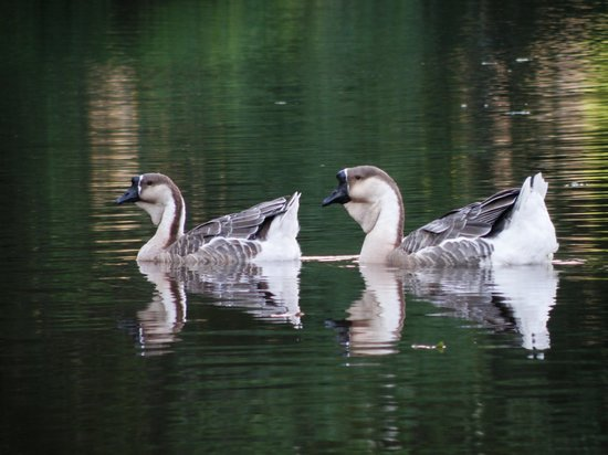 The Woodlands Resort & Conference Center: African Geese