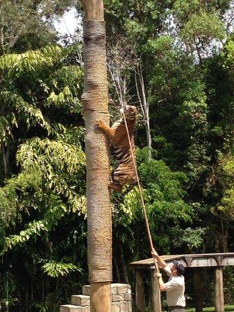 Dreamworld: tiger show