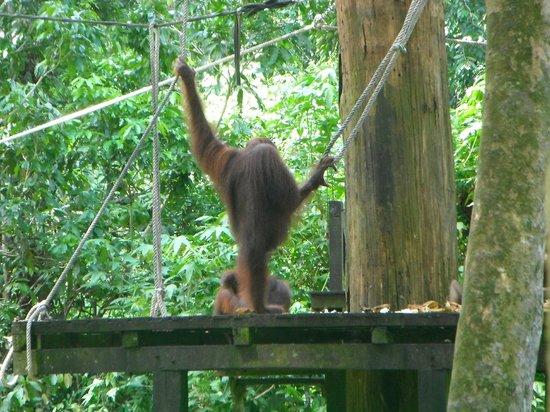 Borneo Seaview Hotel : Orangutang