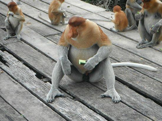Borneo Seaview Hotel : Proboscis monkey