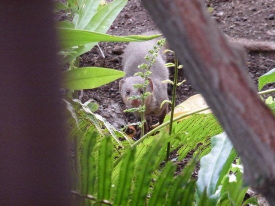 Kanaloa at Kona: Mongoose in garden