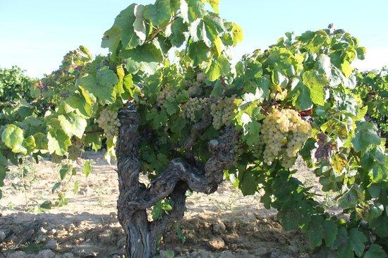 Sant Pau d'Ordal, Spanien: Nuestras Viñas