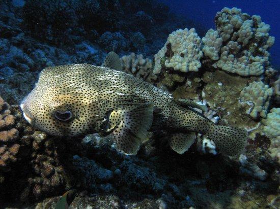 Prodiver Maui: balloon fish