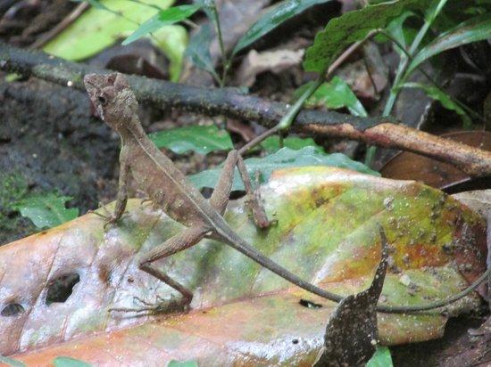 Sinharaja Forest Reserve: Ящерица