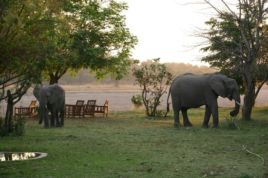 Thornicroft Lodge: Elephants strolling through the lodge
