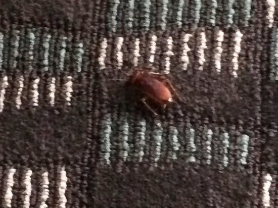 Embassy Suites by Hilton New Orleans - Convention Center: Cockroach