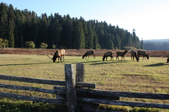 Prairie Creek Redwoods State Park: Small herd of elk in Elk Prairie
