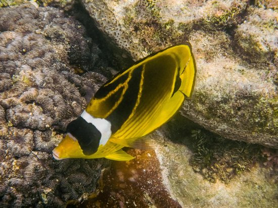 Butterfly Fish while Snorkeling off Titikaveka Beach