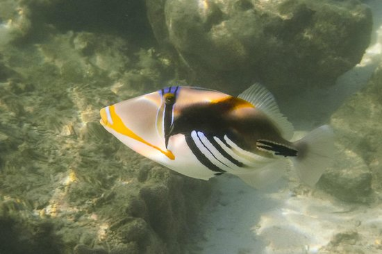 Triggerfish while Snorkeling off Titikaveka Beach