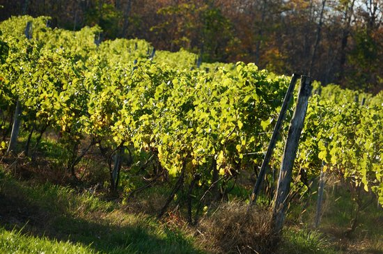 Clinton Winery: Vines, soaking in the sun