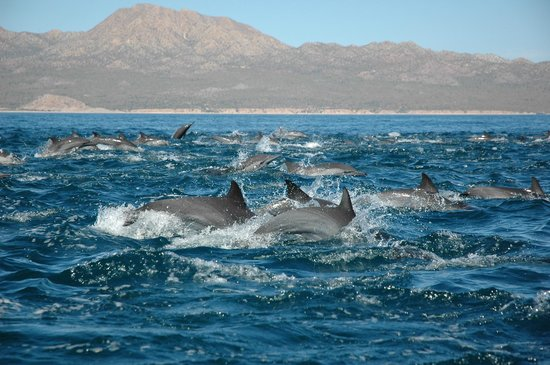 Panterra Eco-Expeditions - Day Trips : Hundreds of common dolphins playing alongside our pangas.