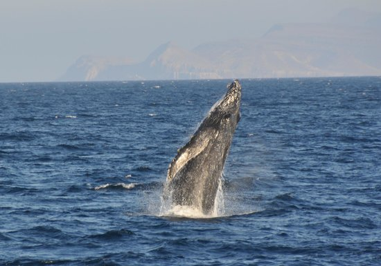 Panterra Eco-Expeditions - Day Trips : A breaching Humpback whale.