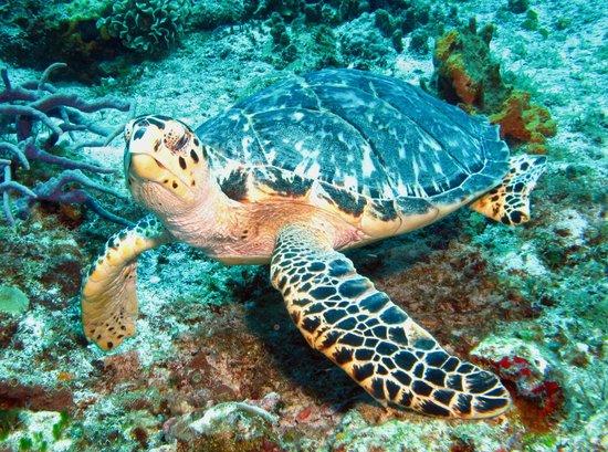 Careyitos Advanced Divers: Turtle