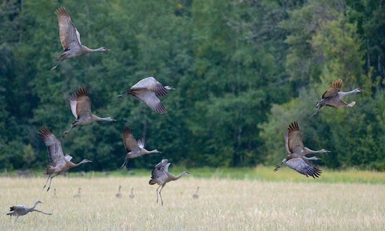 Dale and Jo View Suites: Sandhill Cranes Near University of Alaska