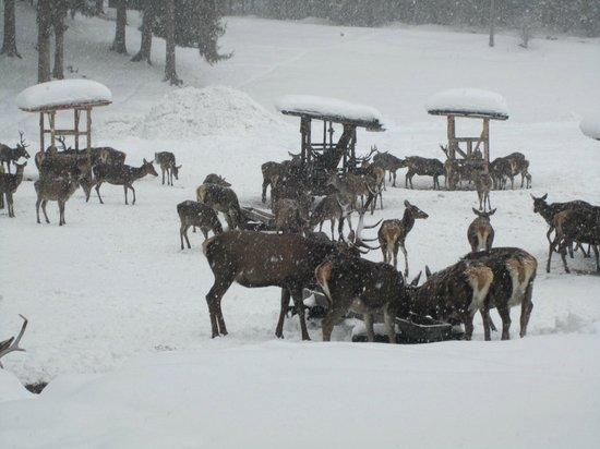 Auf der Pirsch nach Hirsch: Many deer feeding.