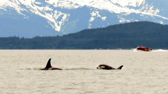 Gastineau Guiding Company - Juneau's Premier Guiding Company: Lots of Killer Whales