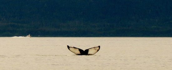 "Gastineau Guiding Company - Juneau's Premier Guiding Company: Our ""Money Shot"" Whale Tail, not the best but hard to caputre!"
