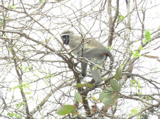 Mkulumadzi Lodge: Vervet Monkey