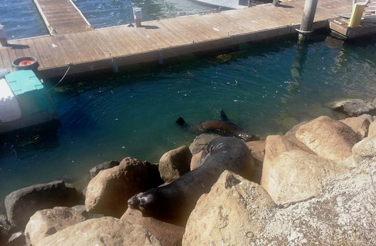 Estero Inn: Elephant seal cows off the pier