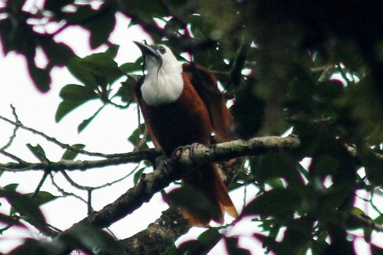 Cabinas Eddy B&B: Three-wattled Bellbird