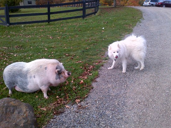 The Vagabond Inn: Luke wasn't too sure about pig. I loved piggy.