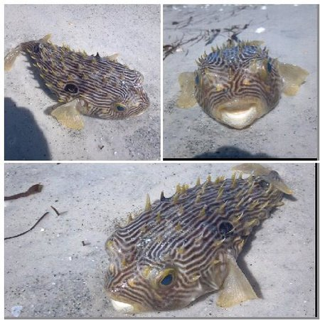 Casa del Mar Beach Resort : This poor guy washed ashore, but cool looking!