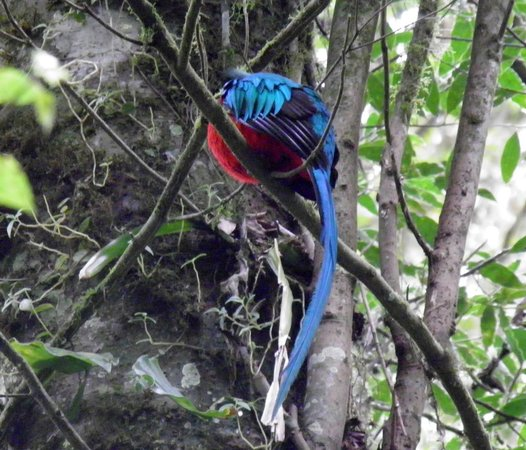 Curi Cancha Reserve : Resplendent Quetzal
