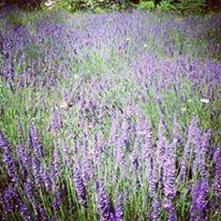 Les Palmiers- Grasse : Wild Lavender Fields