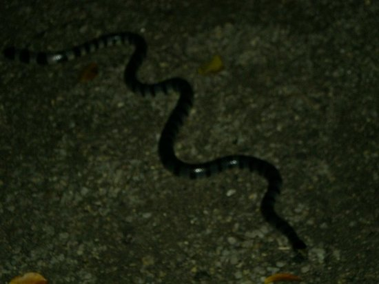 Pulau Banggi: Noctural snake always comes out at night