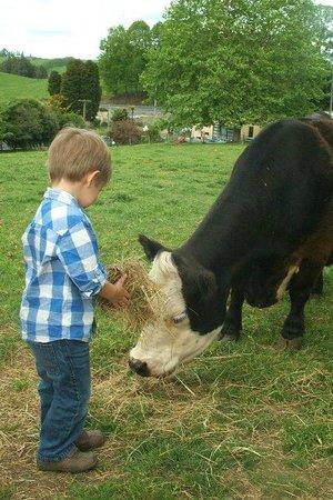 Waitomo Big Bird & Miniature Animal Petting Farm: Feeding the mini cows.