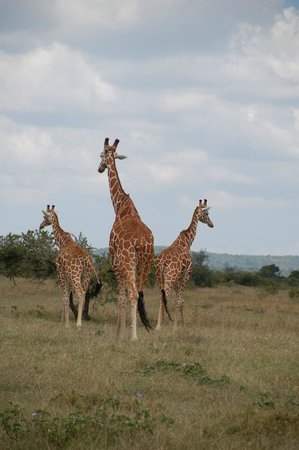Laikipia County, Kenya: A trio of handsome giraffes.