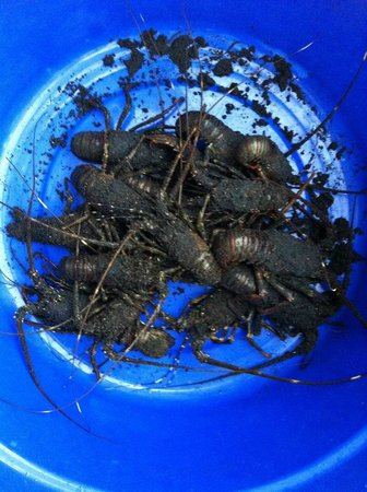 Villa Puri Purnama: Lobsters caught that day for our dinner