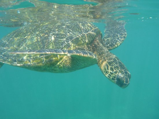 Honokeana Cove Condominiums : Snorkling - amazing experience in the Cove viewing the gentle sea turtles