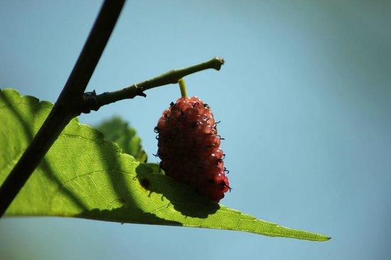 Kodai Resort: Fruits